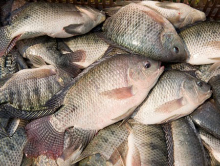 Cá rô phi ngăn cản sự phát sinh mầm bệnh tôm