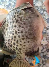 Cá nâu tươi Cà Mau tự nhiên, không hóa chất